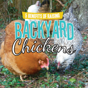 5 Benefits of Raising Backyard Chickens-pin
