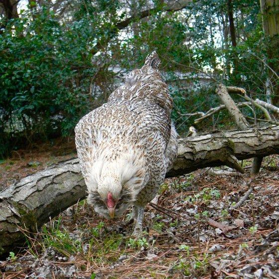 benefits of raising backyard chickens daily mom