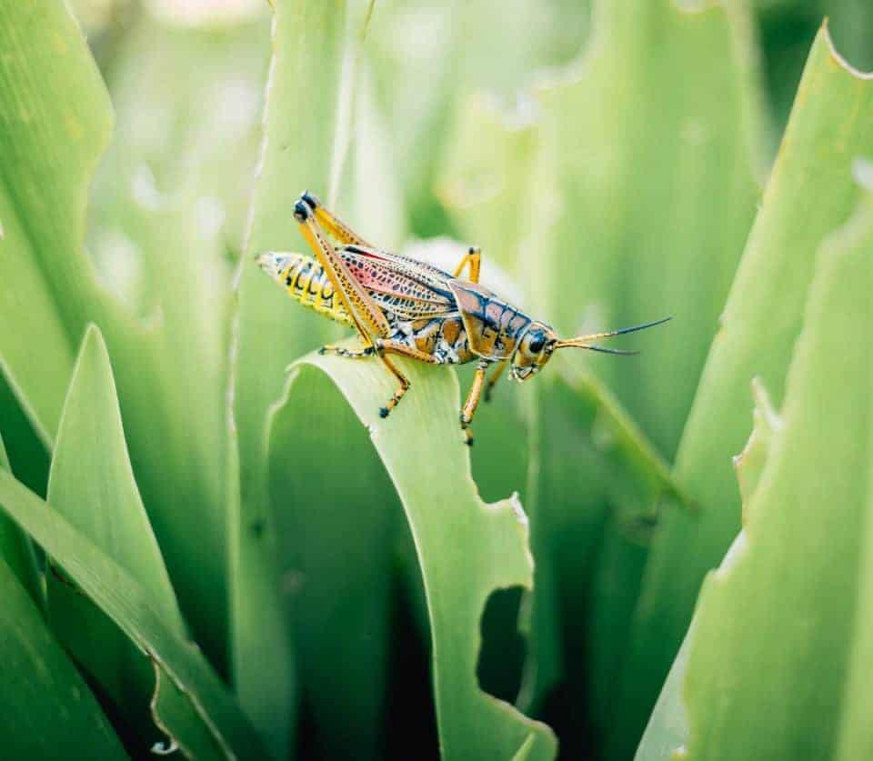 Grasshopper-pic