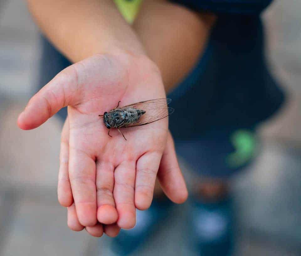 Jake-Cicada