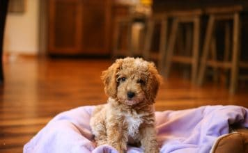 lainey lou the goldendoodle 8