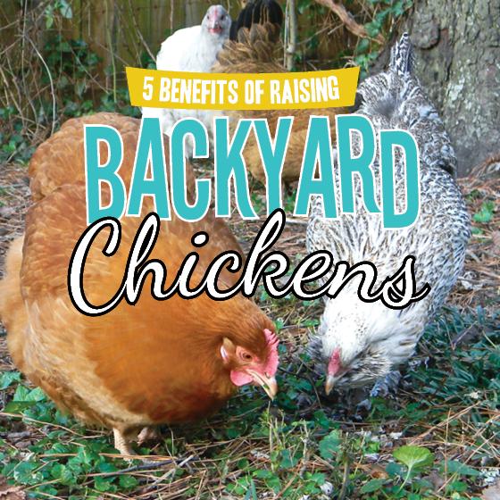 5 BENEFITS OF RAISING BACKYARD CHICKENS 4 Daily Mom Parents Portal
