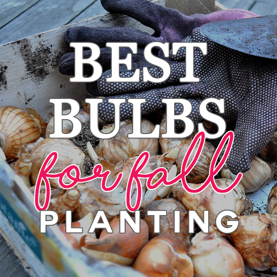 Best Bulbs for Fall Planting 7 Daily Mom Parents Portal