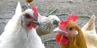 5 Benefits Of Raising Backyard Chickens