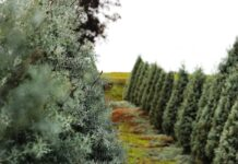 daily-mom-parent-portal-Buying A Real Christmas Tree And Why You Should Ditch Your Fake One!